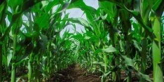 Kukorica lombtrágyázás