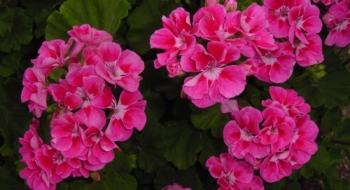 geraniums-plant-grow